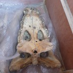 Podczas wykopalisk odnaleziono dwa szkielety wspaniałych krokodyli.
